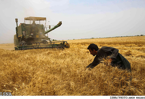 surplus-wheat-khouzestan2