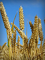 pp-small-wheat