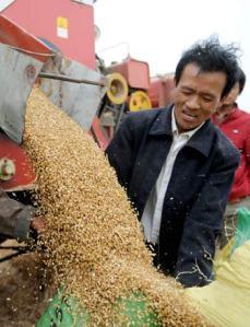 Chinese Wheat Crop. Photo c/o Xinhua Photo