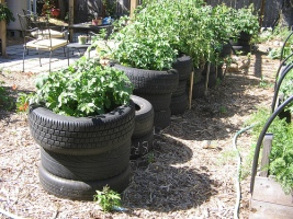 You can even grow potatoes in the middle of an old tire! Photo c/o Hip Chick Digs