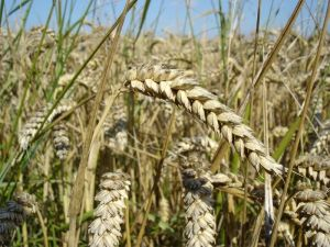 Genetically Modified Wheat photo c/o digitaljournal.com